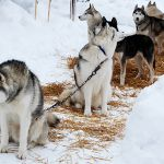 Psychotherapy and Instinct: Saving Our Inner Sled Dogs